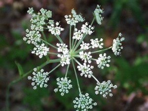 Melekotu-Angelica officinalis