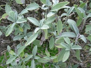 Adaçayı (Salvia Officinalis)