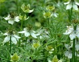 rek Otu ( Nigella Sativa )