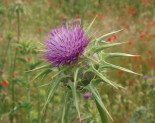 Deve Dikeni ( Silybum marianum )