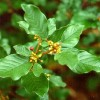 Barut Aac Kabuu ( Rhamnus frangula )