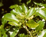 Karanfil ( eugenia caryophyllata )